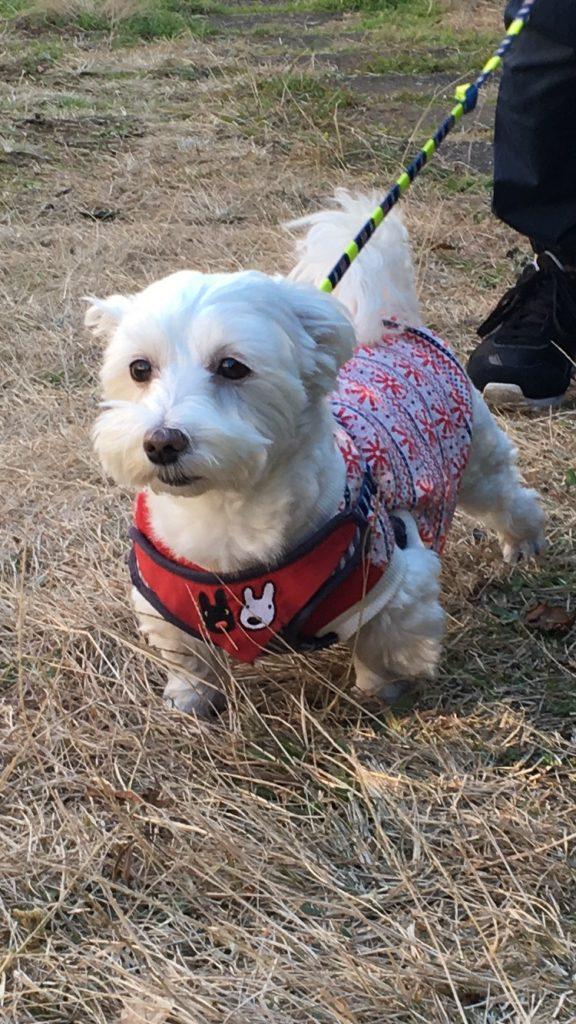 マルックスの特徴、胴長短足がわかる愛犬うめこの写真