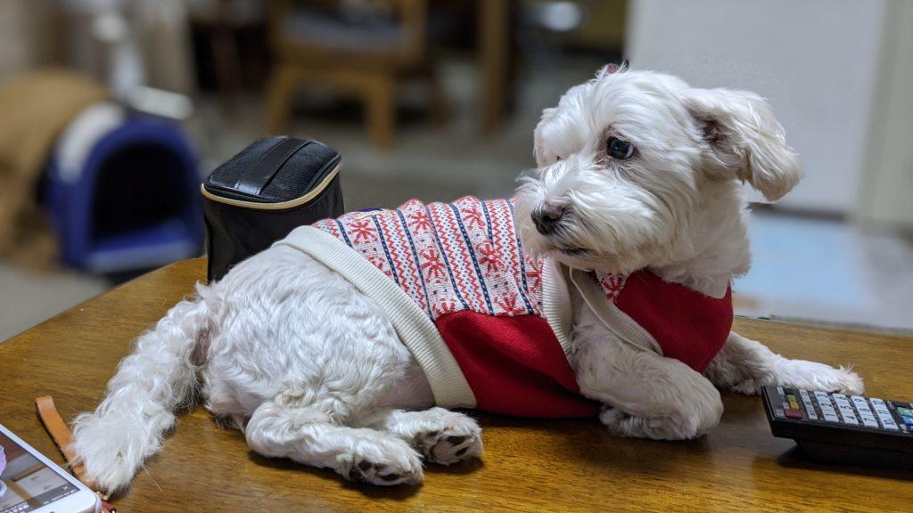 Pixel4で撮影した愛犬うめこの写真
