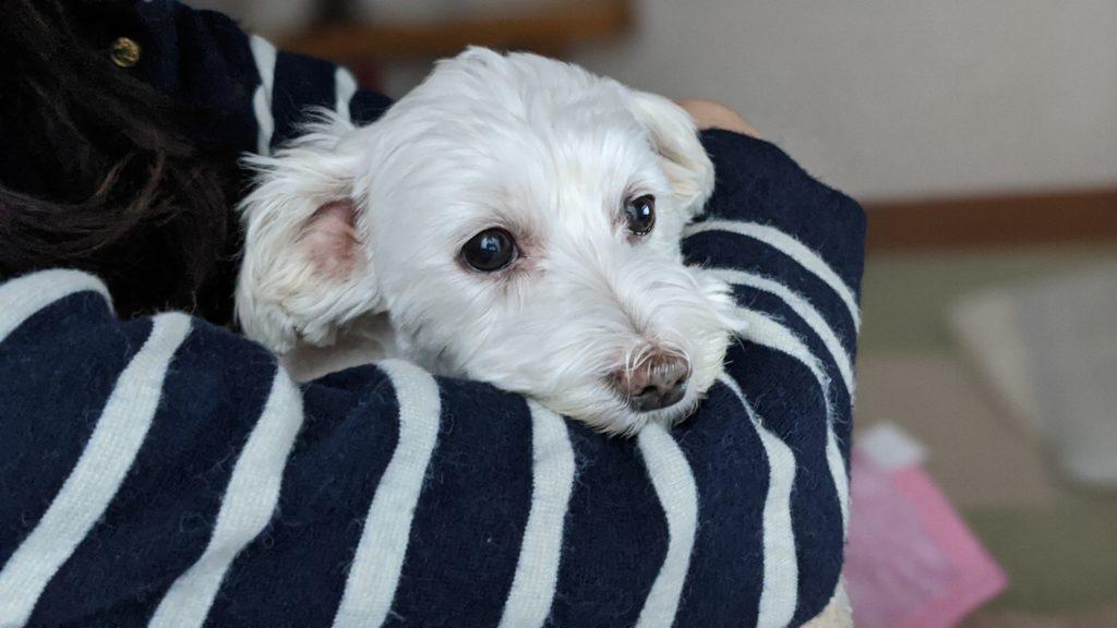愛犬うめこの写真。涙やけが少なくなってきました。