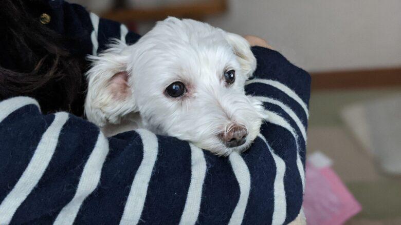 愛犬うめこの写真。エイチアンドジン (H&JIN)使用後、涙やけが少なくなってきました。