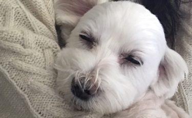 気持ちよさそうに眠る愛犬うめこ