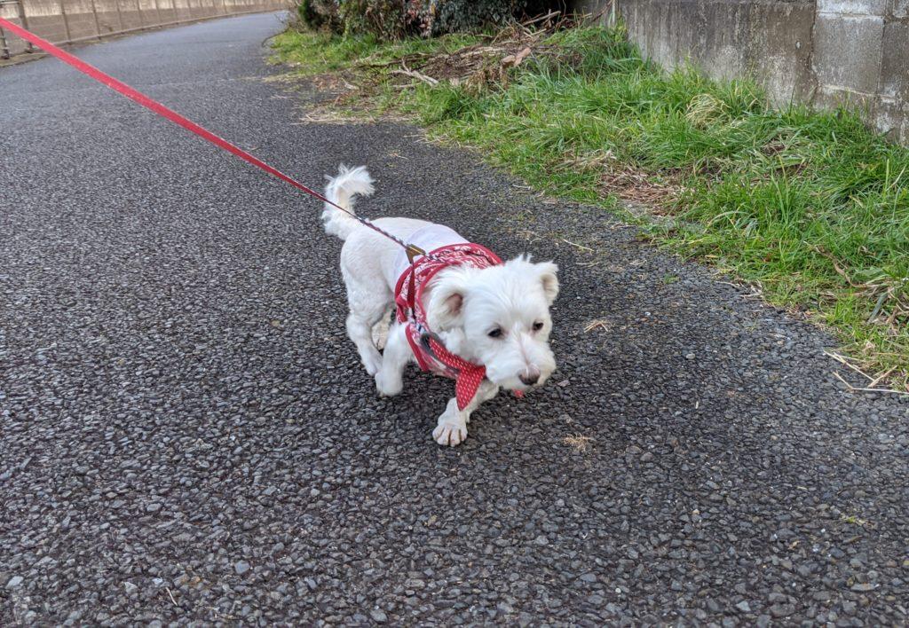 散歩する愛犬うめこ