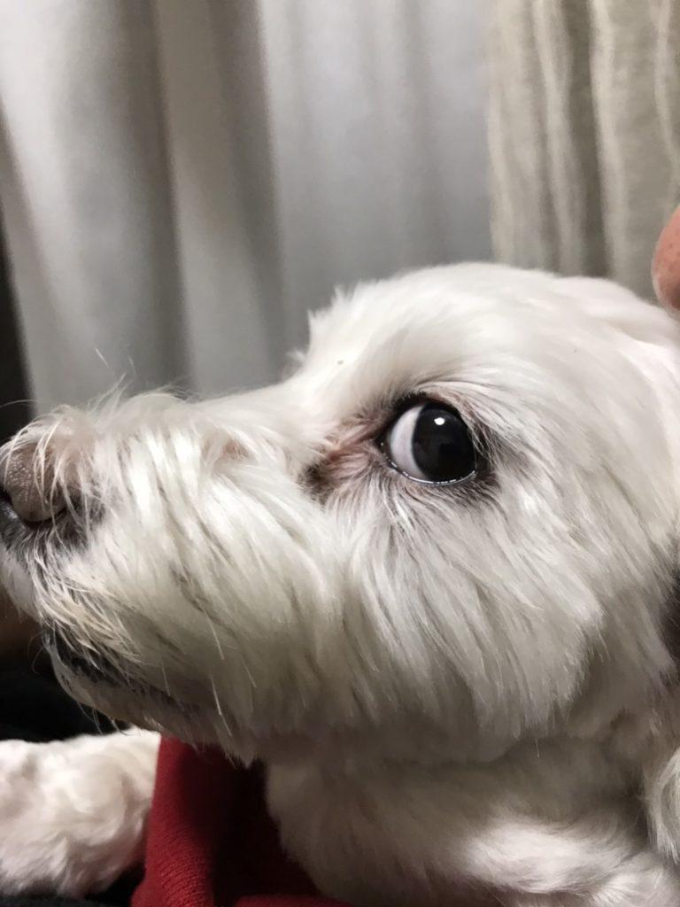 愛犬うめこの以前の写真。涙やけが目立ちます。