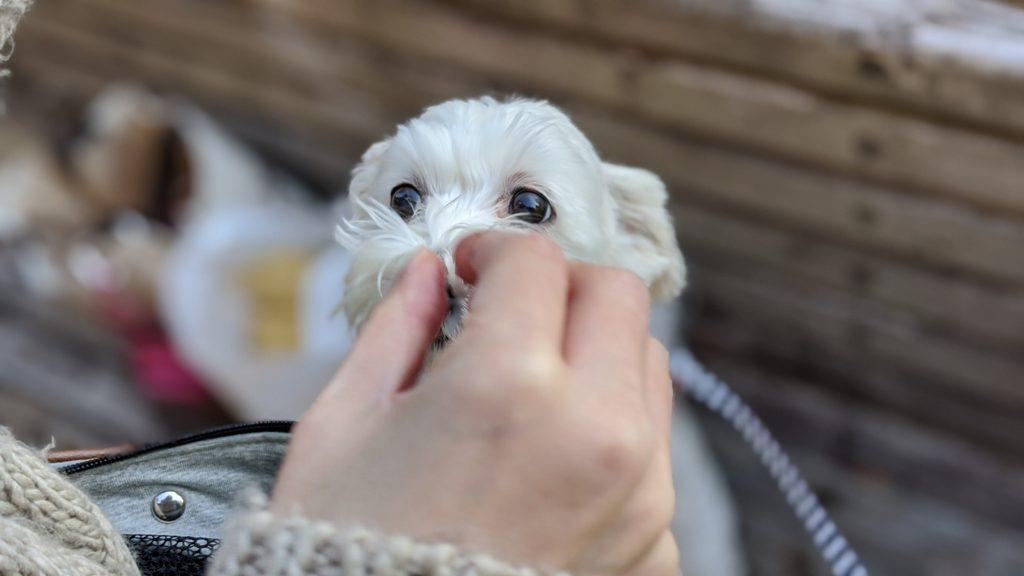 Pixel4で撮影した家でくつろぐ愛犬の写真。焼き鳥を食べてます。