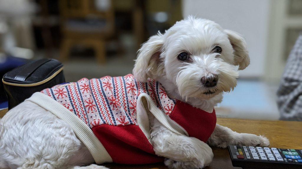 Pixel4で撮影した実家でくつろぐ愛犬の写真。
