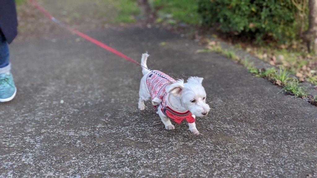 Pixel4で撮影した家でくつろぐ愛犬の写真。散歩が大好きです。