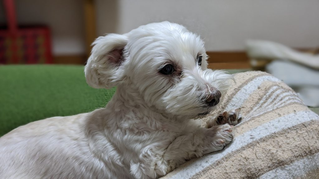 Pixel4で撮影した家でくつろぐ愛犬の写真。横顔です。