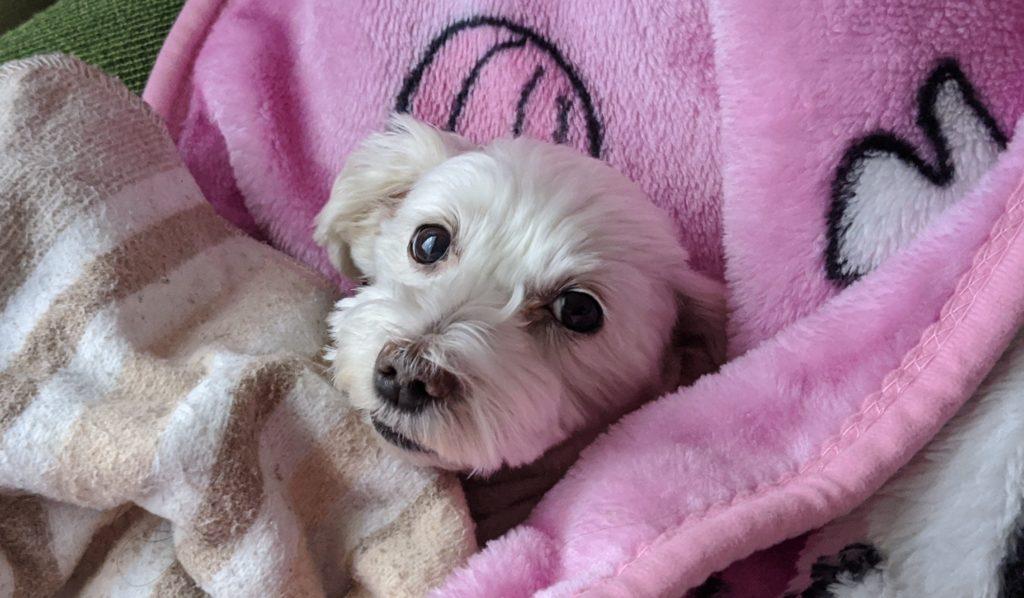 Pixel4で撮影した家でくつろぐ愛犬の写真。