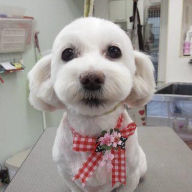 愛犬うめこのトリミングに行ってきました!
