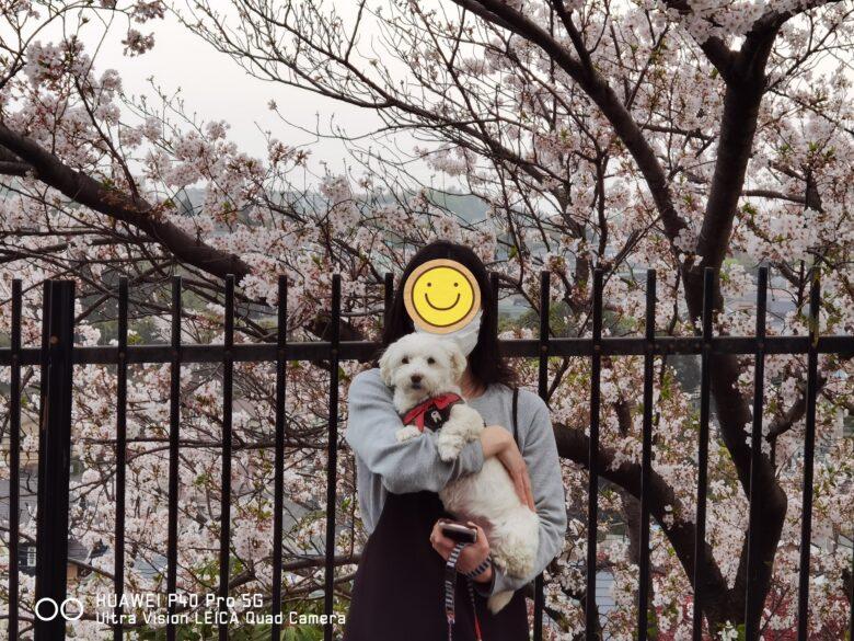 うめこと一緒にP40 Proで撮影した桜の写真です。その1。