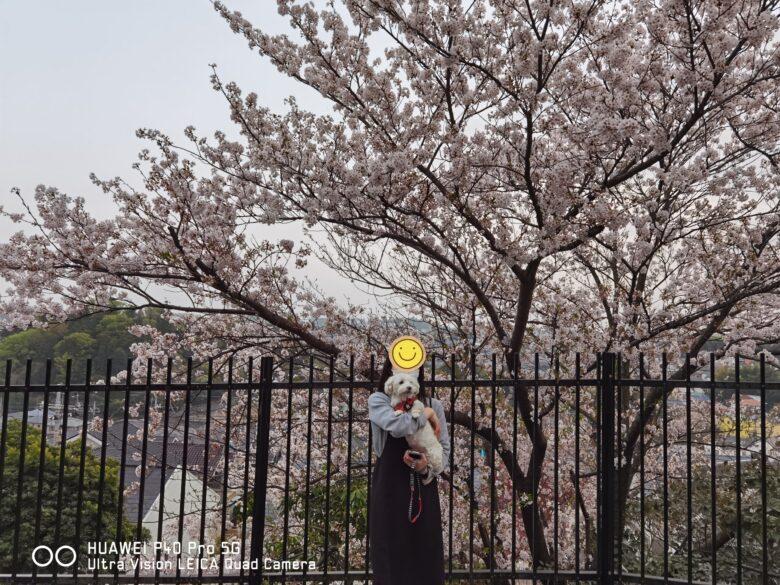 うめこと一緒にP40 Proで撮影した桜の写真です。その2。